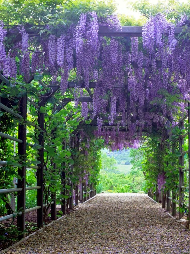 Over The Garden Walk: Wisteria ' Blue Chinese Wisteria'